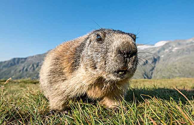 大鐘山的土撥鼠