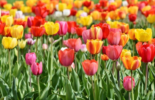 荷蘭庫肯霍夫花園的鬱金香