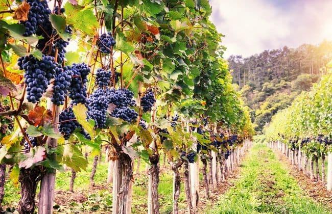 Breisach布萊薩赫的葡萄園